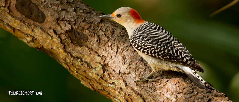 RED BELLIED WOODPECKER - LORI WILSON PARK