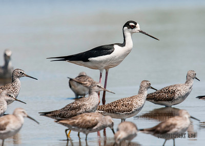 BLACK NECK STILT - CLICK POND