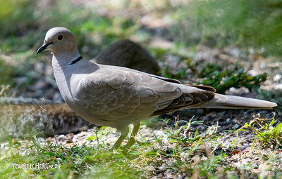 EURASIAN COLLARED DOVE - LORI WILSON PARK