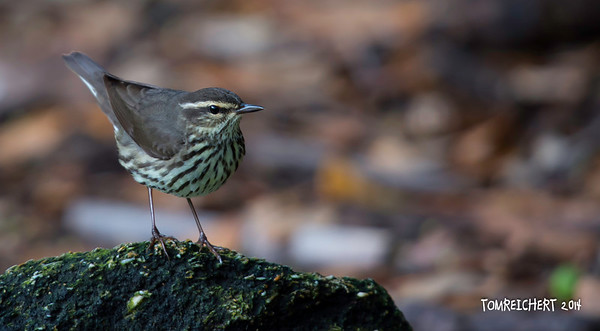 Northern Waterthrush - Lori Wilson Park