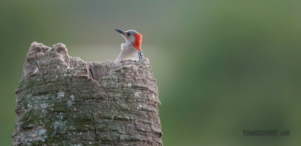 RED BELLIED WOODPECKER - VIERA