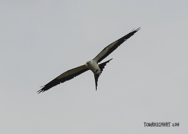 SWALLOW -TAILED KITE - VIERA