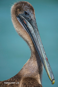 BROWN PELICAN - JETTY PARK