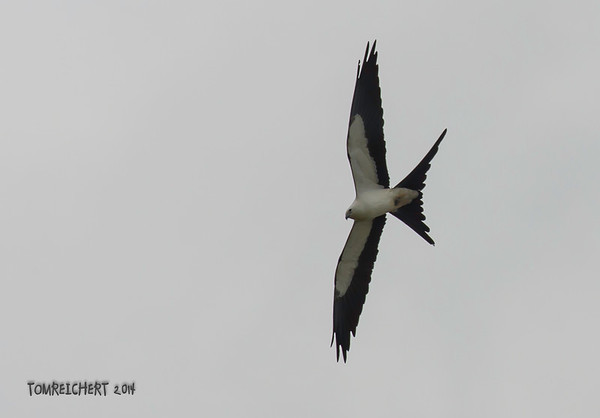 SWALLOW - TAILED KITE - VIERA