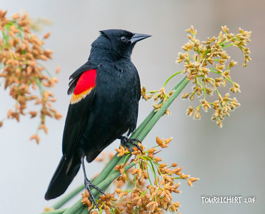 RED WINGED BLACKBIRD - VIERA