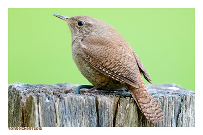 HOUSE WREN - HOYT FARM