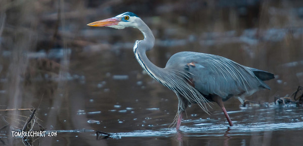 GREAT BLUE HERON AT THE BASHA KILL