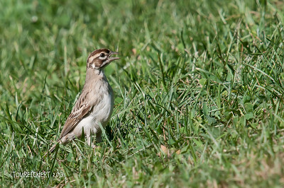 LARK SPARROW - ALLEY POND PARK