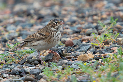Vesper Sparrow - Arizona