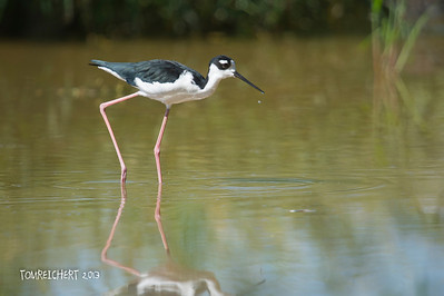 Black-necked Stilt - Arizona