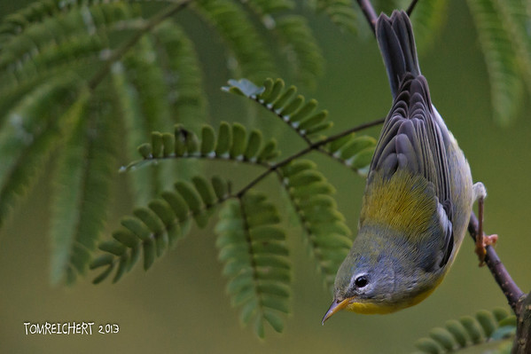 Northen Parula - Meadowlark Park