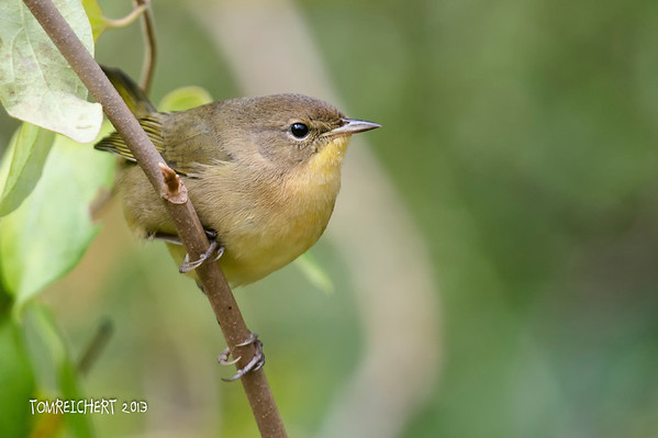 Common Yellowthroat - Fuchs Pond