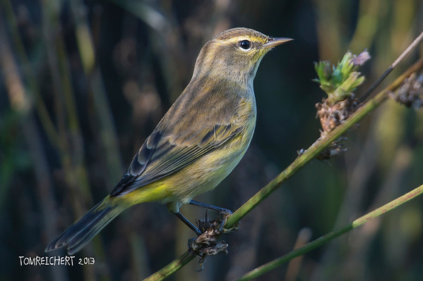 Palm Warbler - Muttontown Pres.