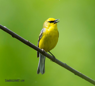 BLUE WINGED WARBLER - MEADOWLARK PARK