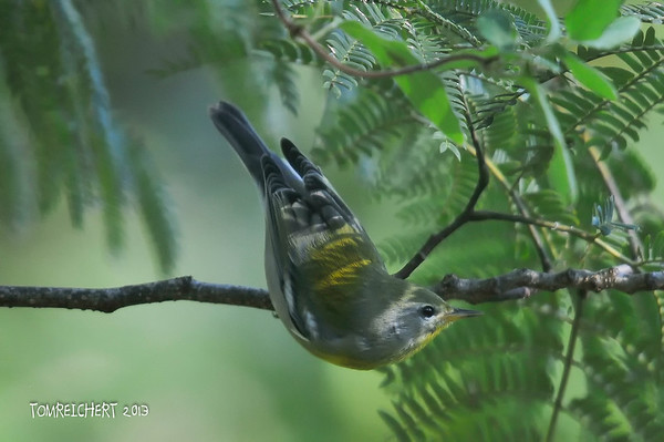 NORTHERN PARULA  - MEADOWLARK PARK