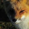 The Red Fox. Had to take the week off after braking two toes. Went out to shoot the sunset when this red fox ran out !